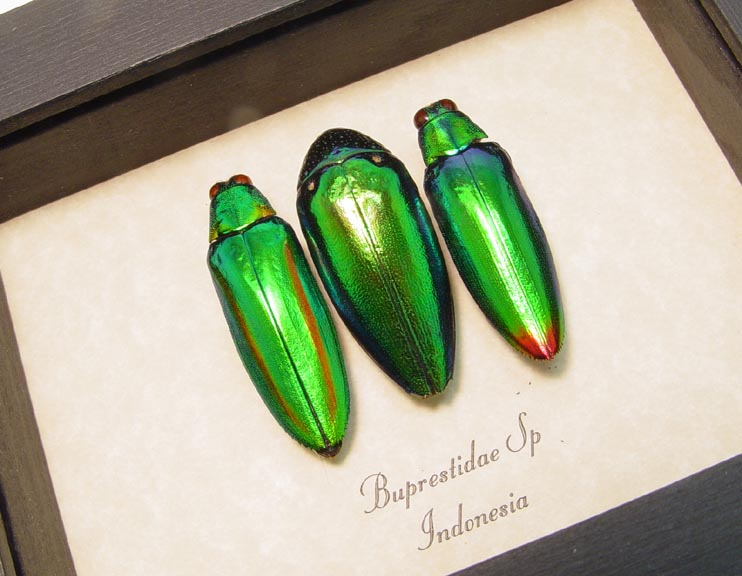 Brupestidae Set Green Jewel Beetles