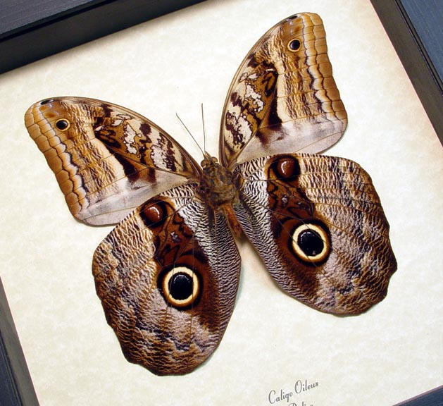 Caligo oileus Owl Mimic Butterfly