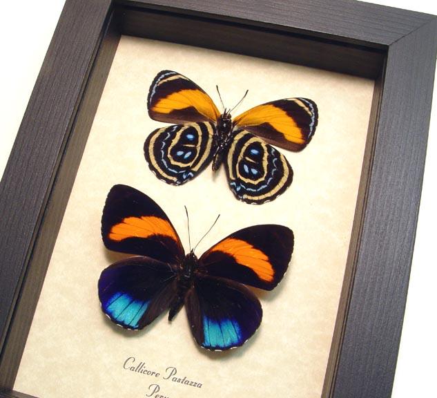 Callicore pastazza set Framed Butterflies