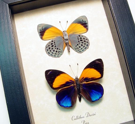 Callithea davisi Set BlueOrange Butterflies