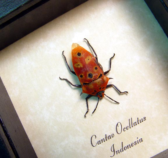 Cantao ocellatus Orange Spiked Conehead Man Face Beetle Face Shield Bug