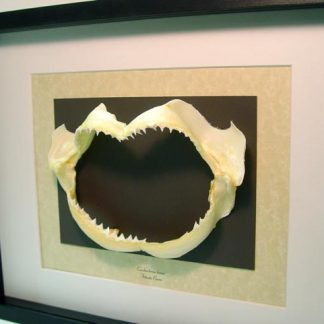 Carcharhinus leucas Bull Shark Jaw requiem shark Species One of the most Dangerous Sharks Real Framed