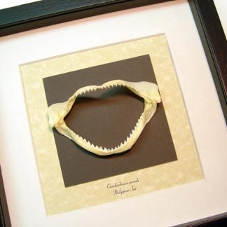 Carcharhinus sorrah Spot-tail Shark Jaw requiem shark Species Real Framed