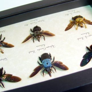 Carpenter Bee Collection 6 Male Female Blue Gold Rainbow Real Framed Insects
