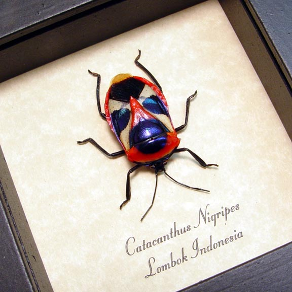 Catacanthus nigripes Man Face Beetle