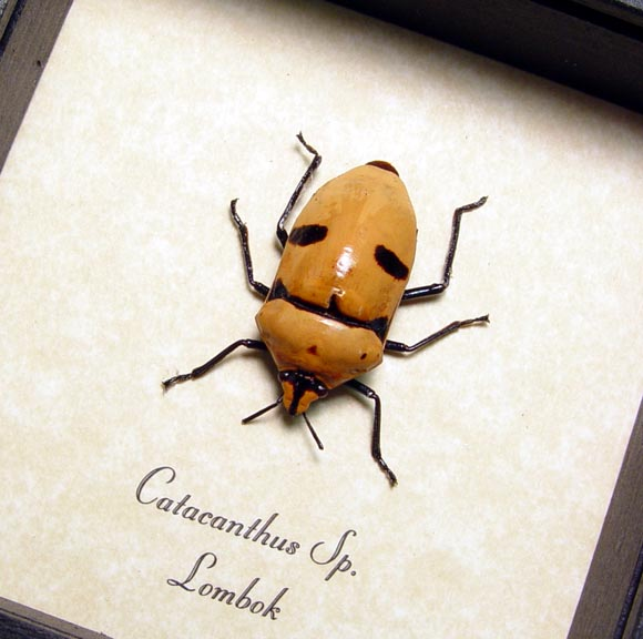 Catacanthus Orange Man Face Beetle