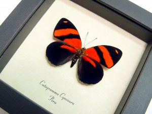 Catagramma cynosura Blood Red Butterfly