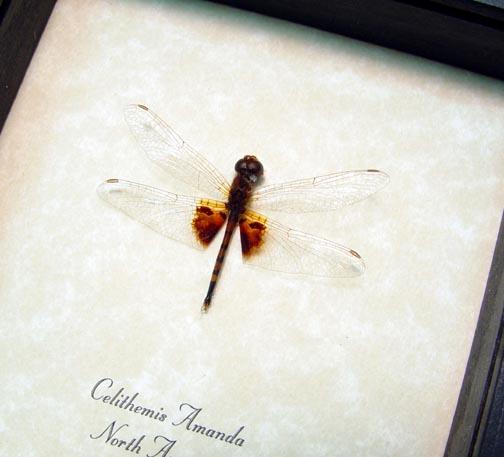 Celithemis Amanda Pennant Dragonfly