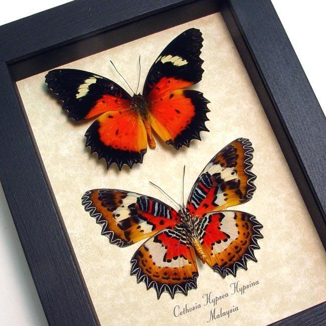 Cethosia hypsea hypsina Pair Malay Lacewing Butterflies
