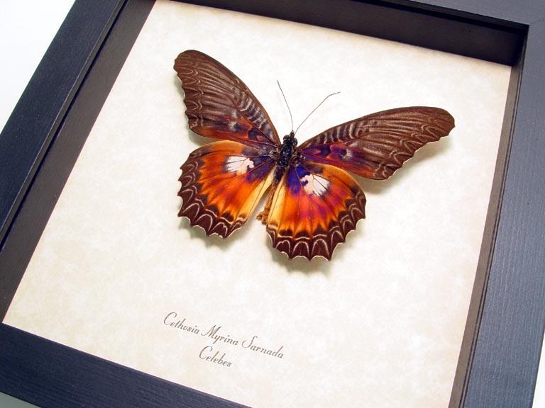 Cethosia myrina sarnada Butterfly