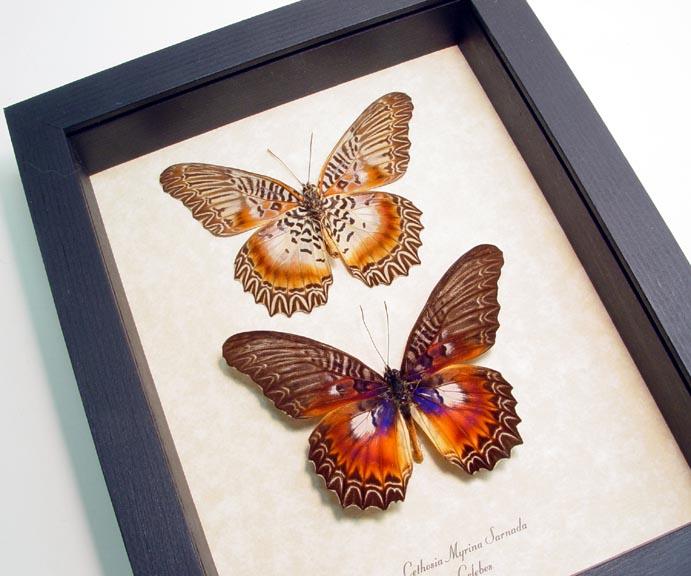 Cethosia myrina sarnada Set Butterflies