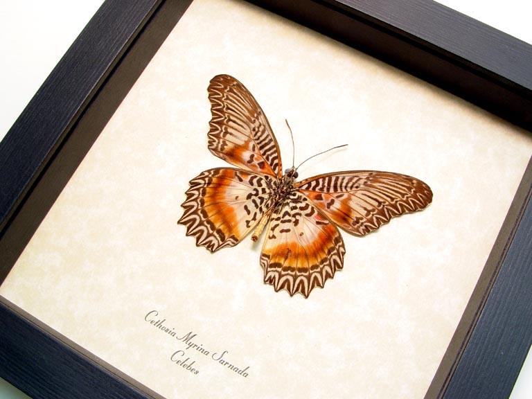 Cethosia myrina sarnada Verso