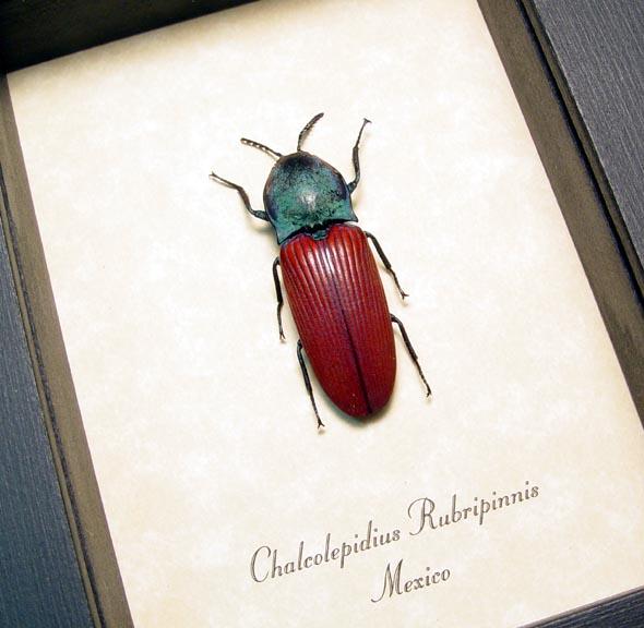 Chalcolepidius rubripinnis Ruby Click Beetle