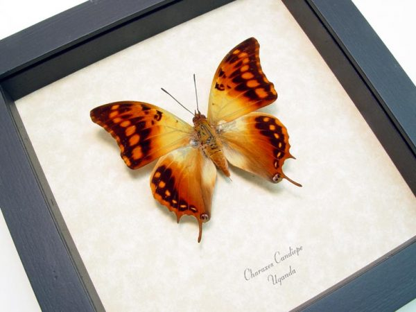 Charaxes candiope African Dagger Tail Framed Butterfly