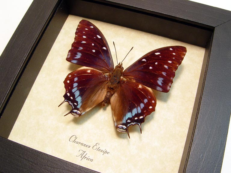 Charaxes etesipe Scarce Forest Emperor