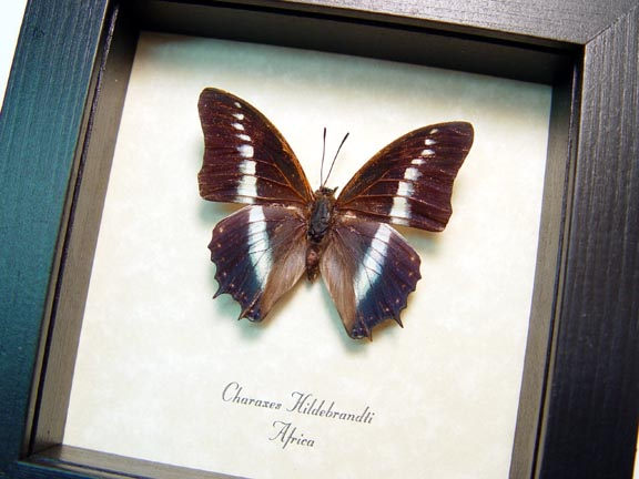 Charaxes hildebrandti Blue Butterfly