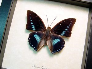 Charaxes imperialis Imperial Blue Butterfly