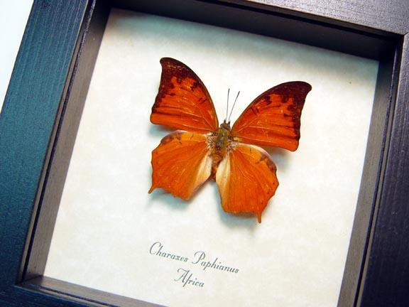 Charaxes paphianus