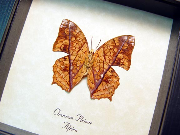 Charaxes pleione African Butterfly