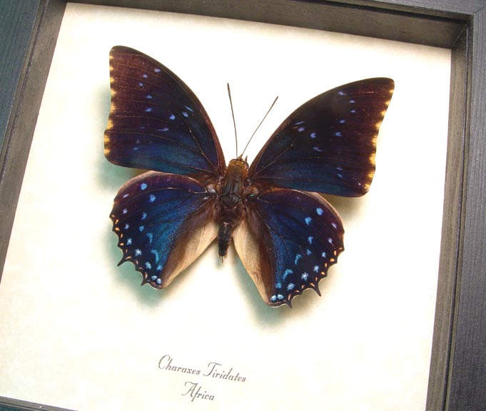 Charaxes tiridates Common Blue Butterfly