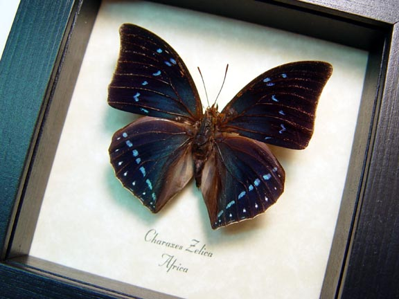 Charaxes zelica Blue African Butterfly