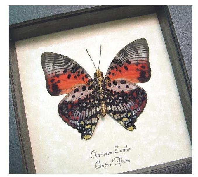 Charaxes zingha Verso Shining Red Charaxes Butterfly