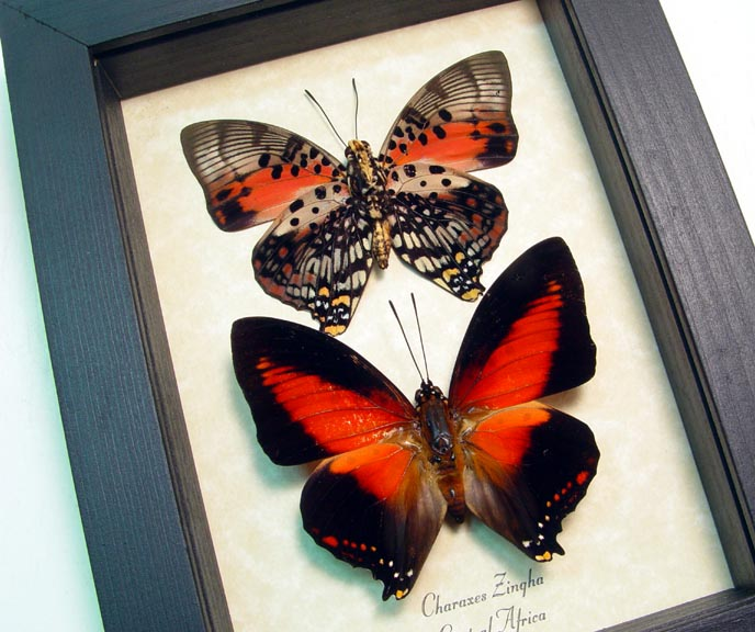 Charaxes zingha Set Red Butterflies