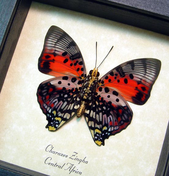 Charaxes zingha Verso Shining Red Charaxes Butterfly