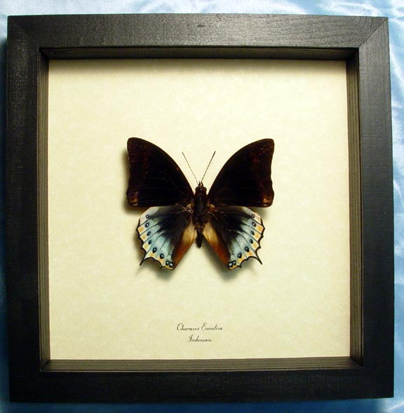 Charaxes eurialus Dagger Tail Butterfly