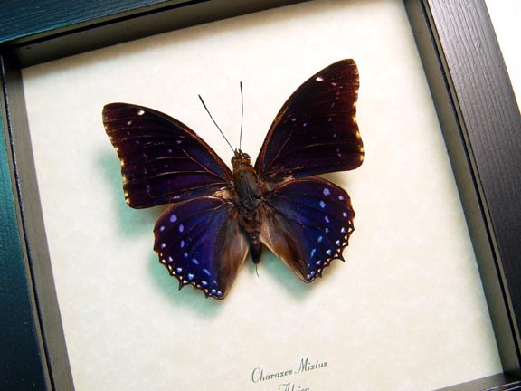 Charaxes mixtus Blue African Butterfly Framed Butterfly Art
