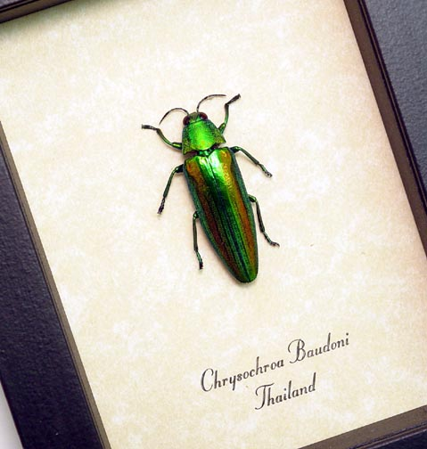 Chrysochroa baudoni Jewel Beetle