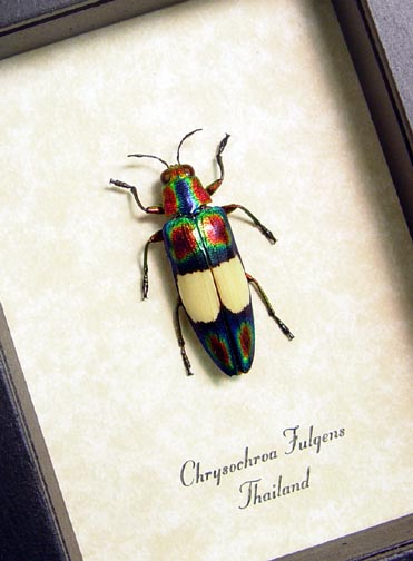 Chrysochroa fulgens Jewel Beetle