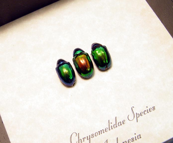 Chrysomelidae Set Shiney Leaf Beetles