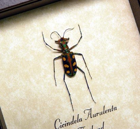 Cicindela aurulenta Tiger Beetle