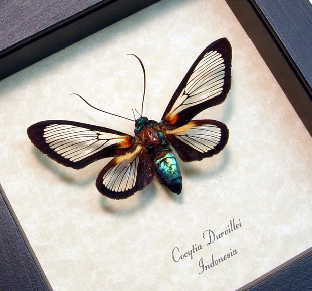 Cocytia durvillei Hummingbird Moth Rare Framed Insect