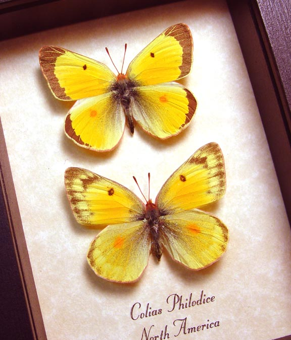 Colias philodice Pair Orange clouded sulphur