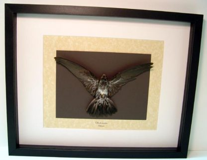 Taxidermy Collocalia esculenta The glossy swiftlet Swift Bird Real Framed
