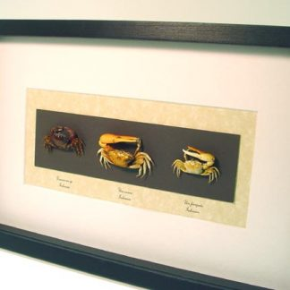 Crab Collection Geosesarma Sp, Uca forcipata, Uca vocans Vampire Fiddler Land Crab Real Framed