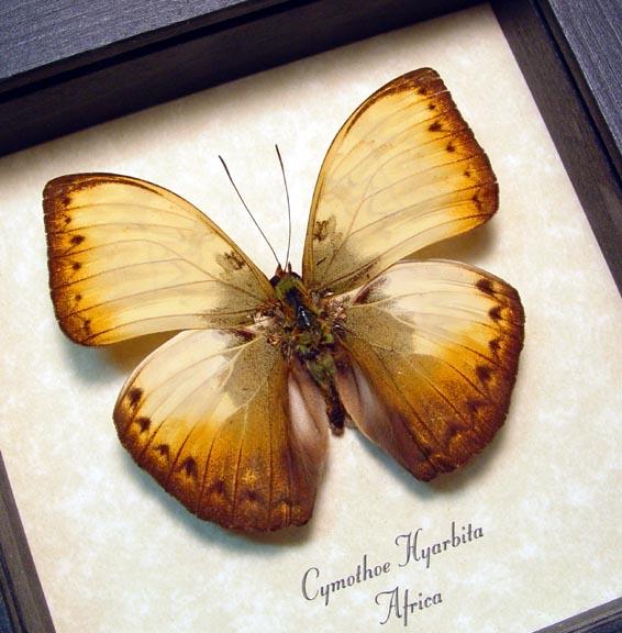 Cymothoe hyarbita Creamy Yellow Glider Framed Butterfly