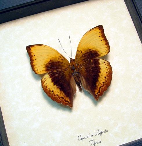 Cymothoe hypata Lurid Glider Butterfly
