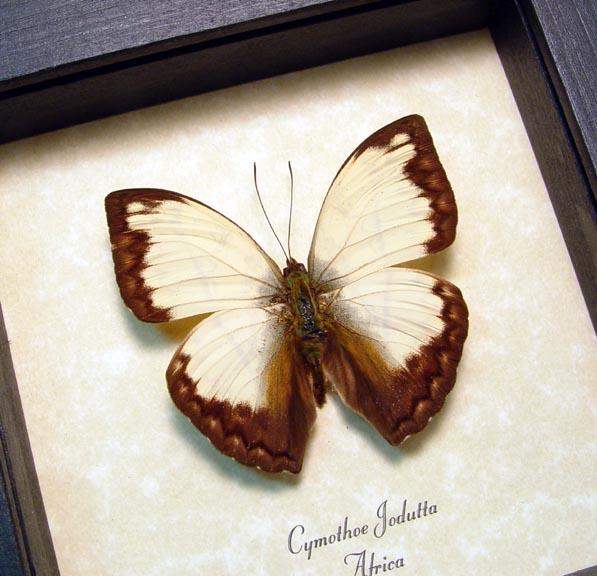 Cymothoe jodutta African Glider