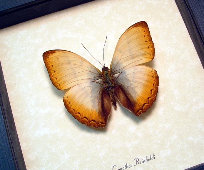 Cymothoe reinholdi Reinhold's Creamy Glider African Butterfly