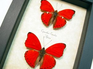 Red butterflies Insects