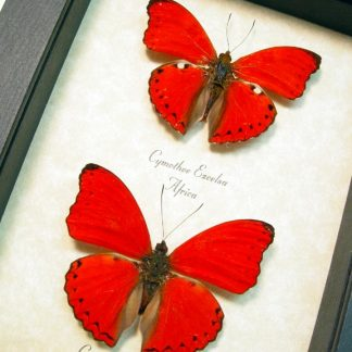 Red butterflies, insects & More