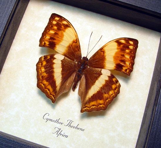 Cymothoe theobene Angular Glider