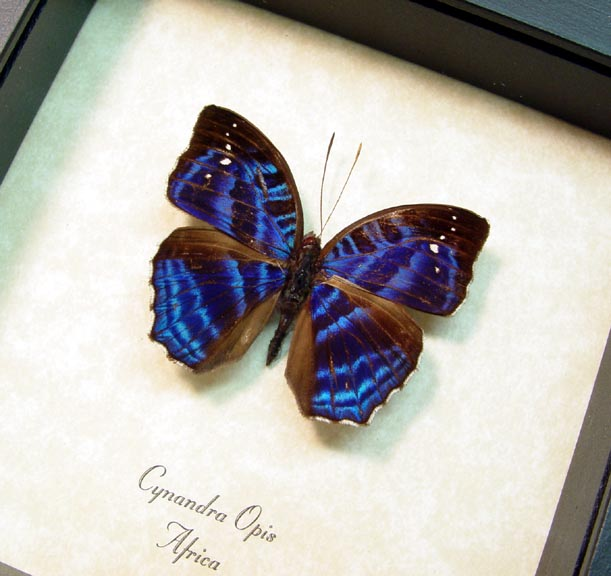 Cynandra opis Brilliant Nymph Blue