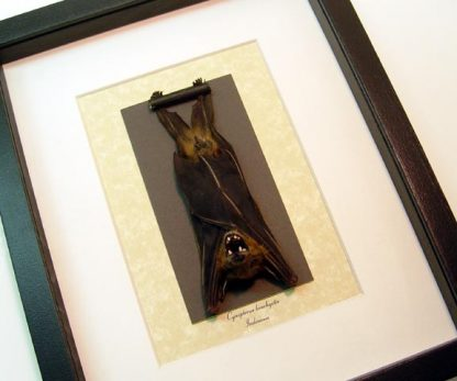 Cynopterus brachyotis Lesser Short Nose Fruit Bat Gargoyle Real Framed
