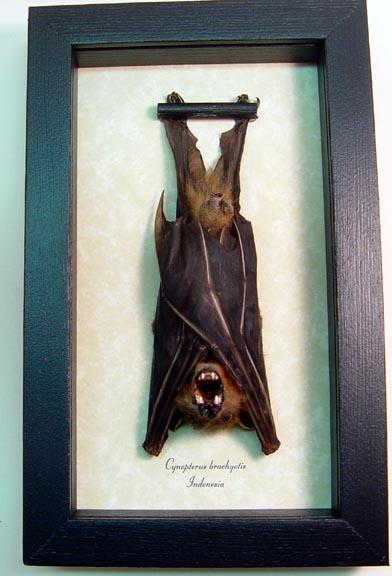 Resting Bats