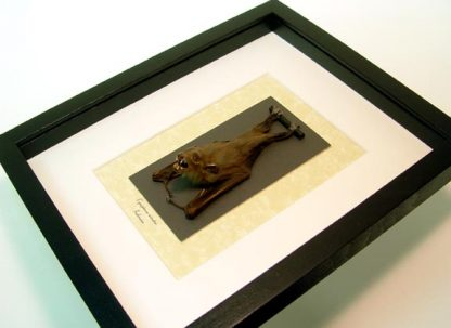 Cynopterus minutus male Minute Fruit Bat with sharp teeth Real Framed