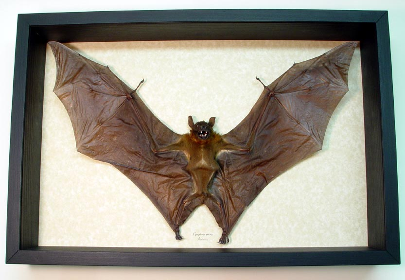 Flying Bat-XXlarge Cynopterus sphinx